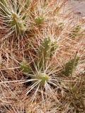Pustynna ro?lina w Valle Del Arcoiris, San Pedro Atacama pustynia, Chile obrazy stock