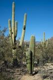 pustynna roślinność Zdjęcie Royalty Free