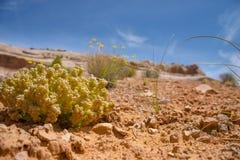 Pustynna roślinność Fotografia Stock