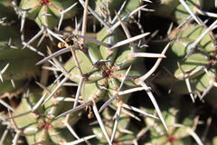 Pustynna roślina w Maroko Fotografia Stock
