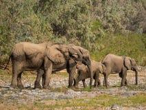 Pustynna słoń rodzina pije od kałuży woda w Hoarusib rzecznym łóżku, Namibia, afryka poludniowa Zdjęcie Royalty Free