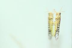 Pustynna szarańcza Fotografia Royalty Free