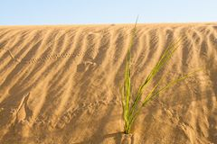 Pustynna trawa w Sahara Obraz Royalty Free
