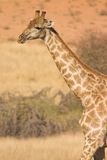 pustynna żyrafa Obraz Royalty Free