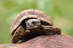 pustynne żółwia Obrazy Royalty Free