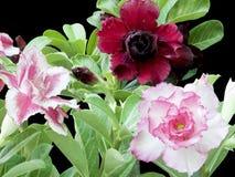 Pustynne róże Obraz Royalty Free