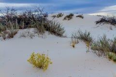 Pustynne rośliny w Zadziwiających Białych piaskach Białych piasków Pomnikowy park narodowy w Nowym - Mexico Zdjęcia Stock