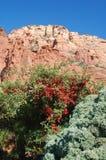Pustynne rośliny z czerwonymi jagodami, czerwonego piaskowa halne formacje, Arizona w U S southwest fotografia stock