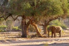 Pustynne słoń pustynie, natura w parkach narodowych i fotografia stock