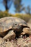 Pustynnego Tortoise Up zakończenie Zdjęcia Stock