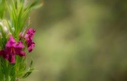 Pustynnej wierzby kwiatu scena z negatyw przestrzenią obraz royalty free