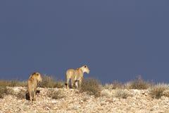 pustynni Afrykanów lwy Zdjęcie Royalty Free