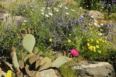 Pustynni Dzicy kwiaty Fotografia Stock