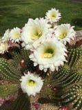 Pustynni kaktusów kwiaty Zdjęcia Royalty Free