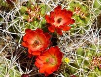 Pustynni kaktusów kwiaty Obrazy Royalty Free