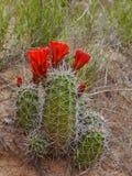 Pustynni kaktusów kwiaty Obraz Royalty Free