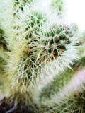 Pustynni kaktusa up zakończenia bielu kolce Zdjęcie Stock