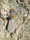 Pustynni kolorów żółtych kwiaty Obraz Stock