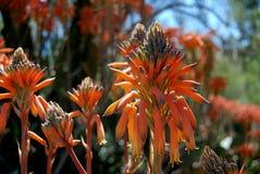 Pustynni kwiat pomarańcze kwiaty Zdjęcia Stock