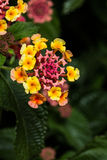 Pustynni Kwiaty Obraz Stock