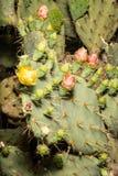 Pustynni Kwiaty Fotografia Stock