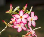 pustynni kwiaty wzrastali Zdjęcia Stock