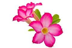 pustynni kwiaty wzrastali Fotografia Royalty Free