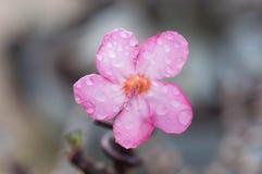 pustynni kwiaty wzrastali Zdjęcie Stock