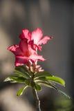 pustynni kwiaty wzrastali Zdjęcie Royalty Free