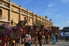 Pustynni wielbłądy Zdjęcia Royalty Free