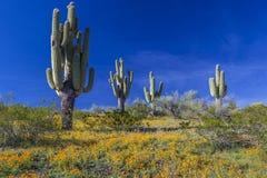 Pustynni Wildflowers i Saguaro kaktusy w Arizona Zdjęcia Royalty Free