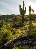 Pustynni Wildflowers i Saguaro kaktusy w Arizona przy zmierzchem Obraz Stock