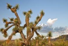 pustynny Arizona drzewo Joshua Obrazy Royalty Free