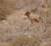 Pustynny big horn wędrówek Arizona Barania pustynia obraz royalty free