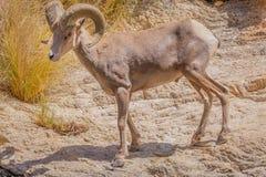 Pustynny big horn wędrówek Arizona Barania pustynia fotografia royalty free