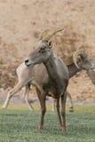 Pustynny bighorn Ewe Fotografia Royalty Free