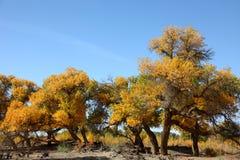 Pustynny bohatera Ejinaqi Populus euphratica Zdjęcie Stock