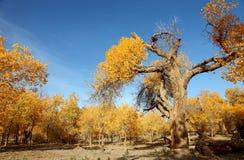 Pustynny bohatera Ejinaqi Populus euphratica Fotografia Stock