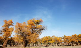 Pustynny bohatera Ejinaqi Populus euphratica Fotografia Royalty Free