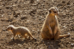 pustynny Botswana meerkat Kalahari Zdjęcie Stock