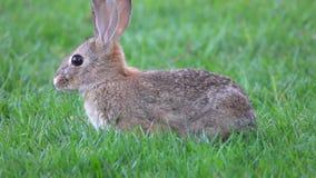 Pustynny Cottontail królik Je trawy Wtedy Biega Daleko od zbiory wideo