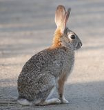 Pustynny Cottontail królika Sylvilagus audubonii Fotografia Stock