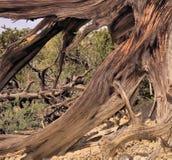 Pustynny Driftwood Zdjęcie Stock