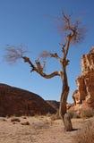 pustynny drzewo obrazy stock