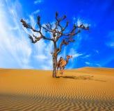 Pustynny osamotniony drzewo i wielbłąd Obraz Royalty Free