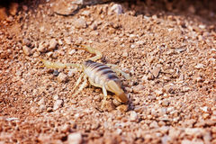 Pustynny Kosmaty skorpion Na ziemi Fotografia Stock
