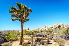 Pustynny Krajobrazowy Joshua drzewa park narodowy Fotografia Stock