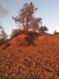 Pustynny kwiat Zdjęcia Stock
