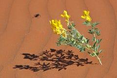 Pustynny kwiat Obrazy Royalty Free