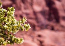 Pustynny kwiat w przedpolu z Rockowymi formacjami w Południowo-zachodni Stany Zjednoczone zdjęcie stock